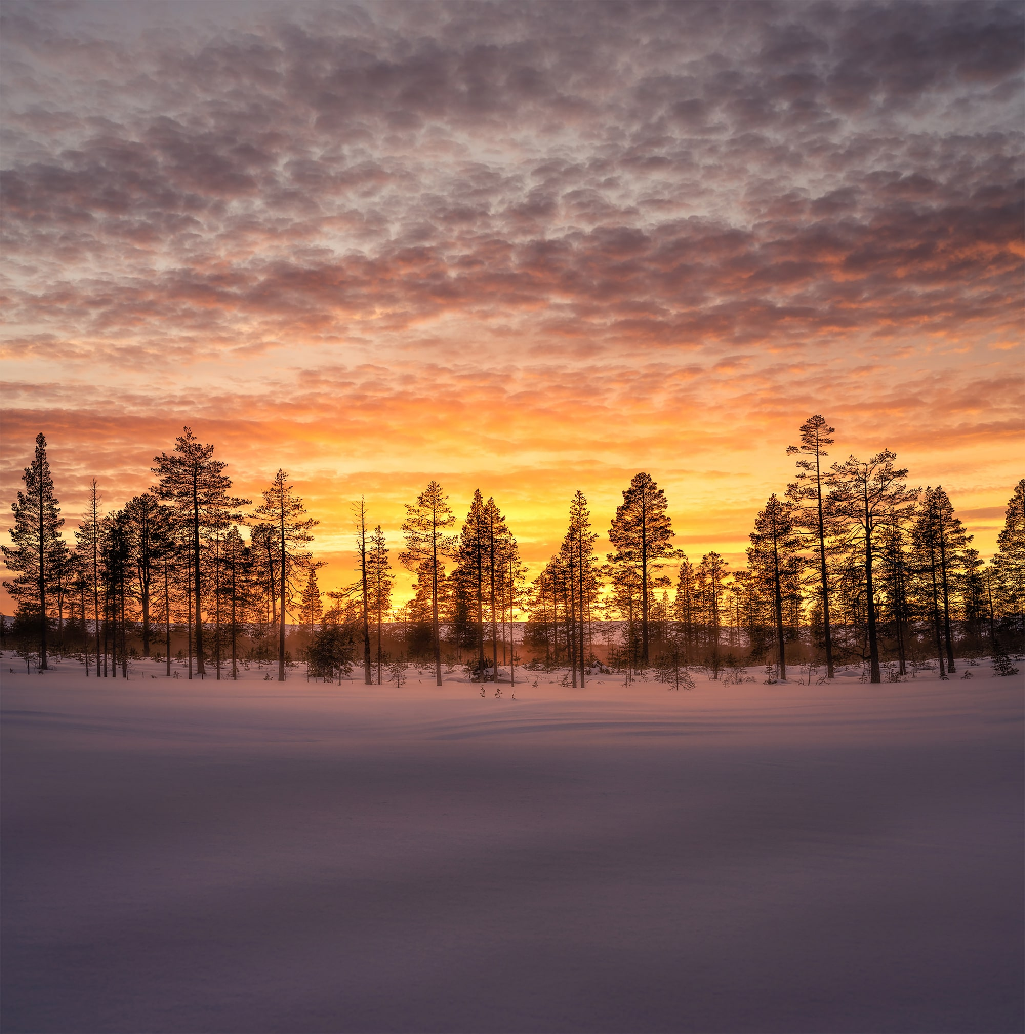 michael schaake sony alpha 7RM4 a row of conifer trees on a snowy landscape at sunset