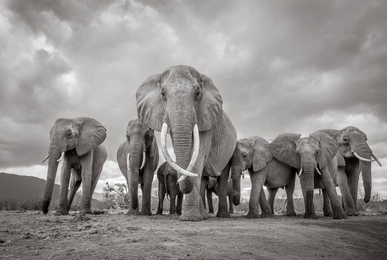 will burrard lucas sony alpha 6500 black and white elephants herd