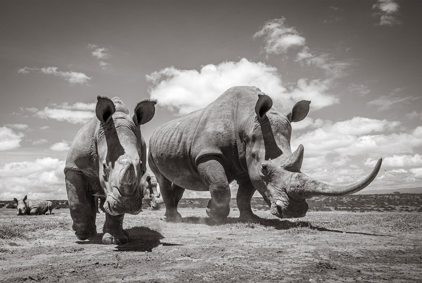 will burrard lucas sony alpha 9 black and white twho rhinoceros on the move