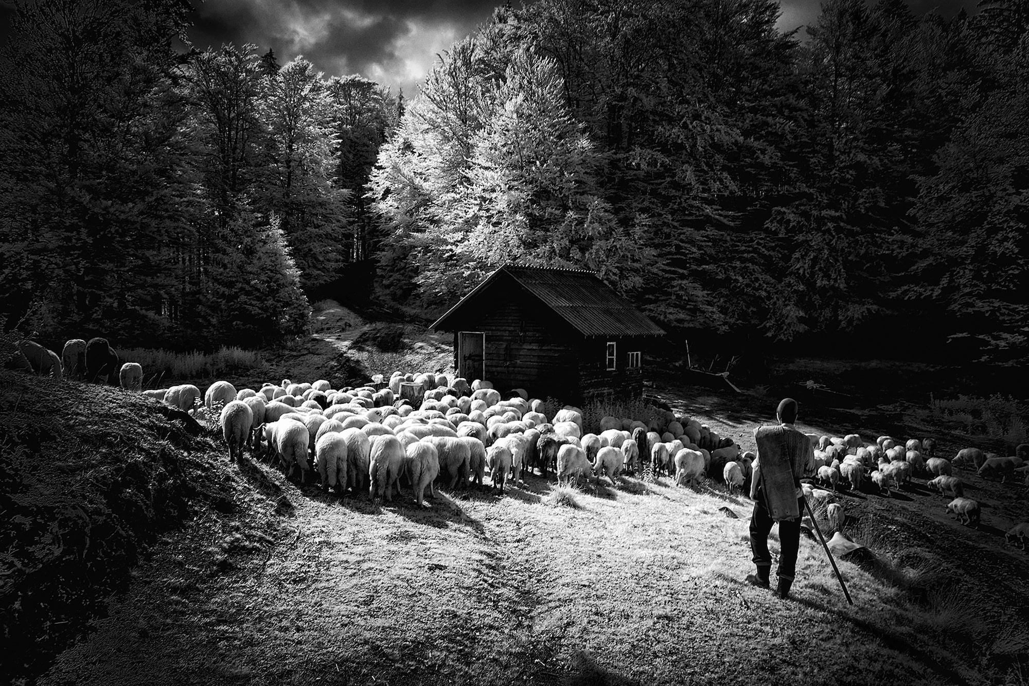 alin popescu sony alpha 6000 infrared shot of a shepheard herding sheep in front of a wodden shed