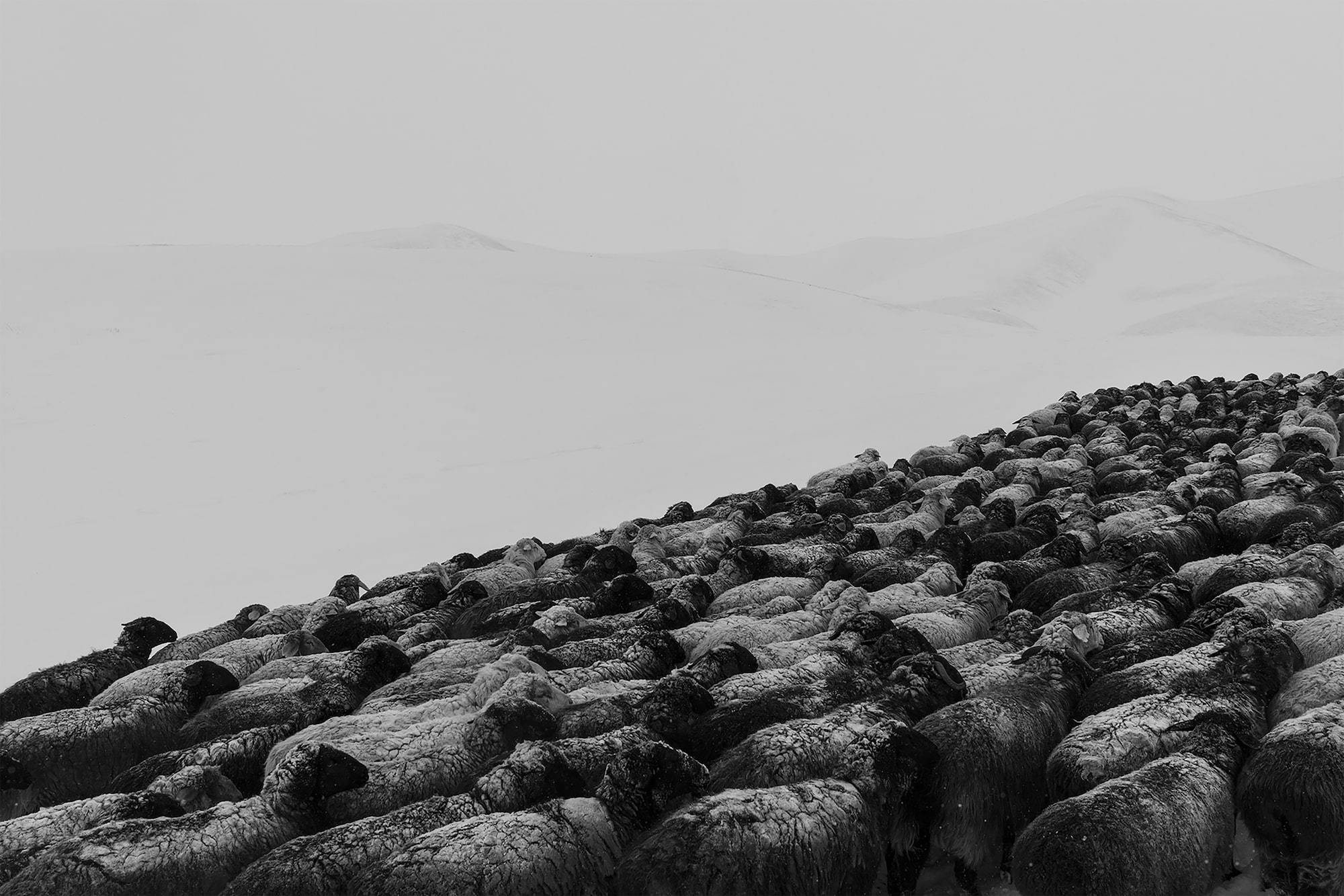 frederik buyckx sony alpha 7RM3 flock of snow covered sheep make their way up a mountain