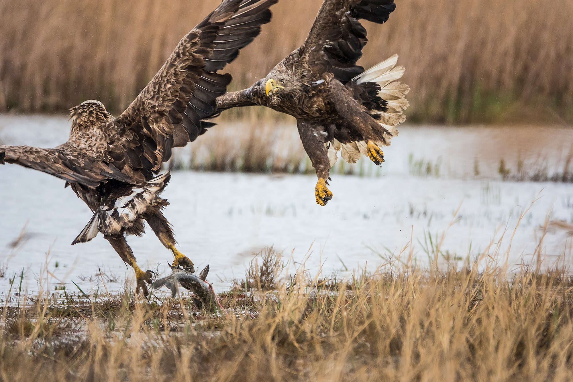 kaisa lappalainen sony rx10IV 2 hawks fighting over a fish theyve just caught
