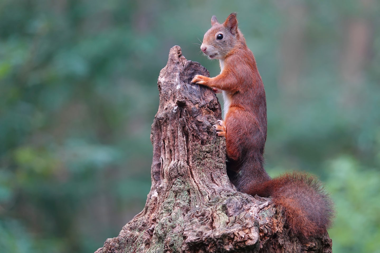 gustav kiburg sony rx10 IV red squirrel