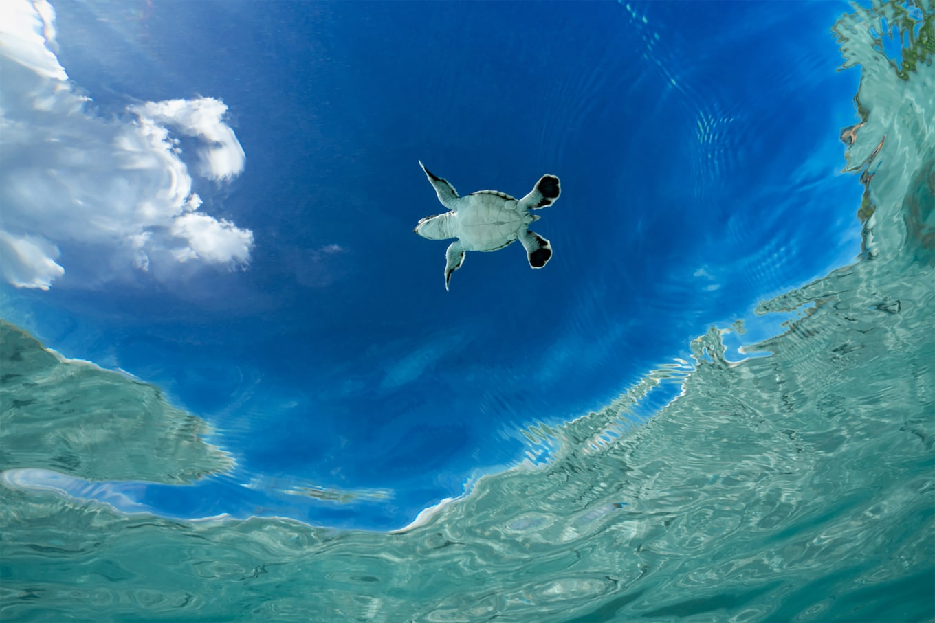 alexis rosenfeld sony alpha 7r2 underwater view from elow of a seaturtle