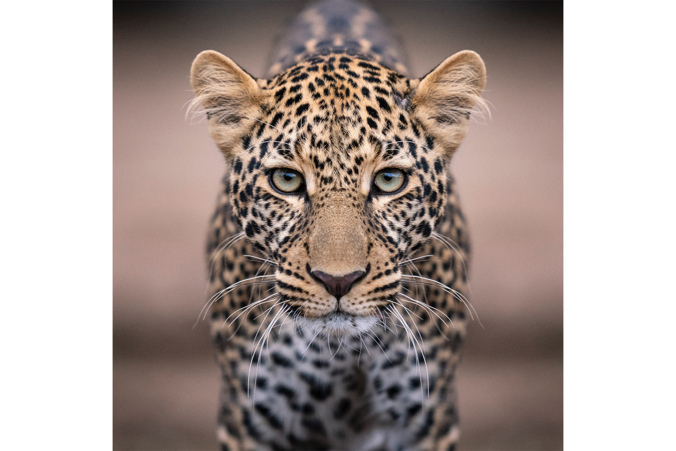 andreas hemb sony alpha 7r3 portrait of a leopard fixing the objective