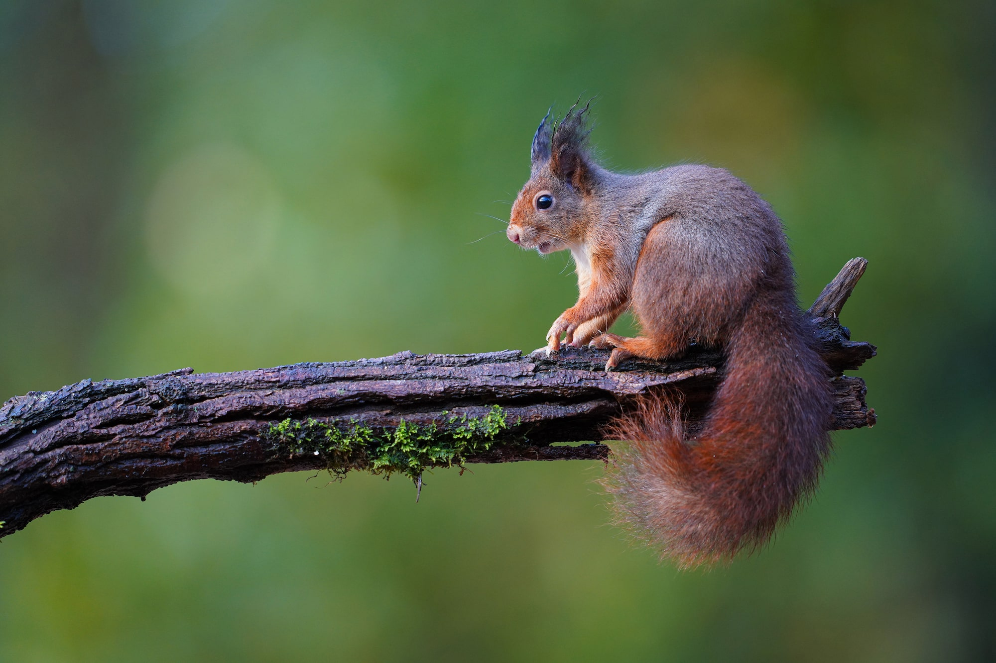 gustav kiburg sony alpha 7r4 a squirrel at the end of a branch looking surprised