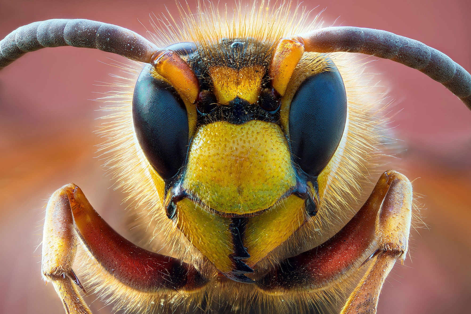 petar sabol sony alpha 7RIII extreme close up of a hornets face