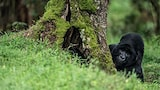 francis bompard sony apha 9 a gorilla is looking for food in a tree